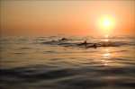 Bottlenosed dolphins at dawn - Port Elizabeth