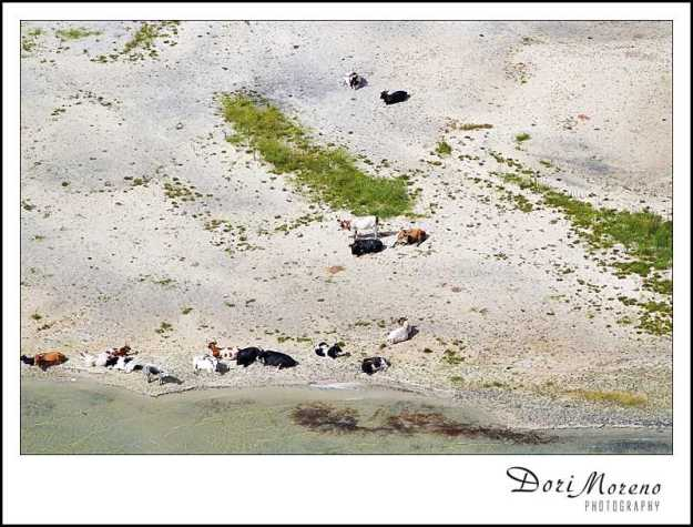 Nguni cows relax on the banks of Lake Sibhayi
