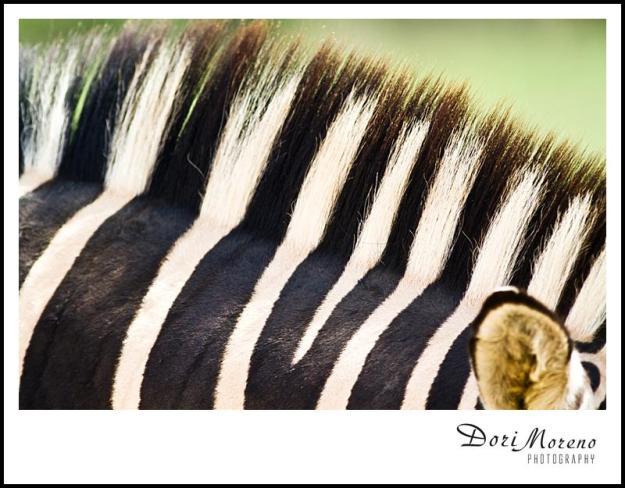 Mohican Zebra