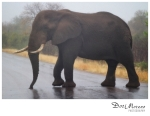 Elephant crosses the road