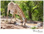 Giraffe 17
