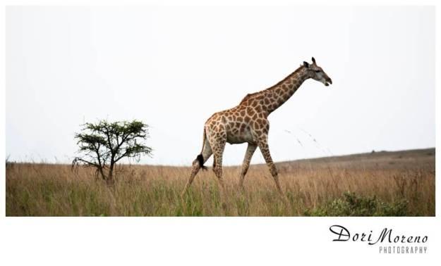 Giraffe 20