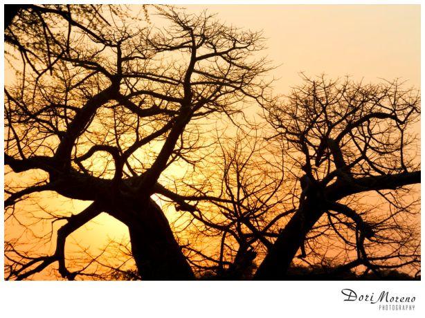 Baobab silhoutte