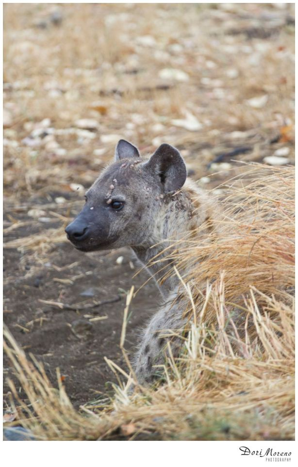 Hyena with spots