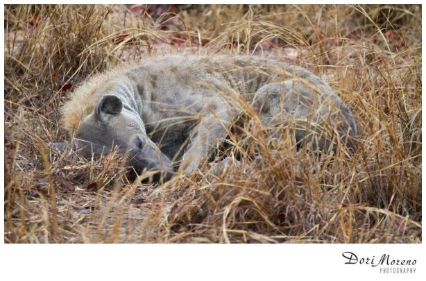 Let sleeping hyena lie!