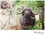 Buffalo 13