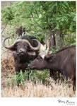 Buffalo 15