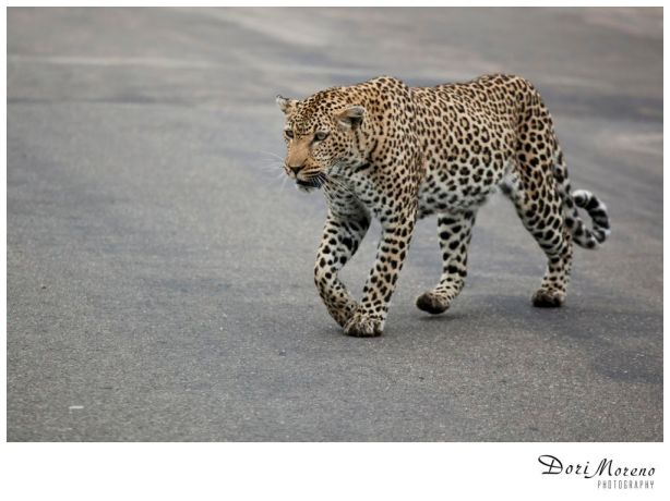 A leopard crosses my path