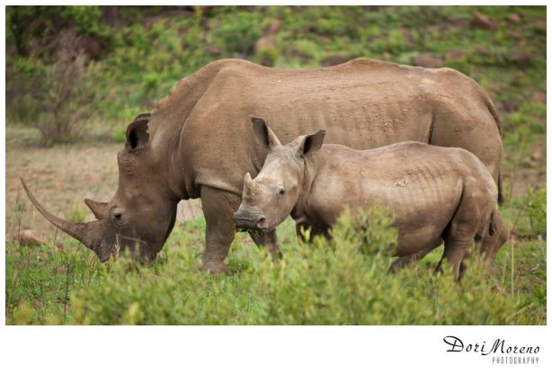 A rhino with horn intact and baby